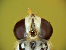 Hoverfly fontal close up royalty free stock photos