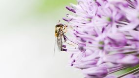 Hoverfly on giant onion flower stock footage