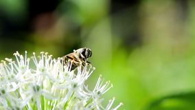 Hoverfly on giant onion flower stock video