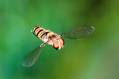 Hoverfly on green Stock Photo