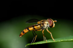 Hoverfly on green leaf Stock Photo