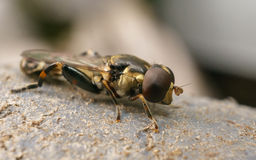 A Hoverfly Royalty Free Stock Photo