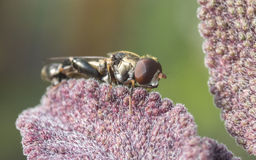 A Hoverfly Royalty Free Stock Images