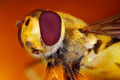 Hoverfly head macro Stock Images