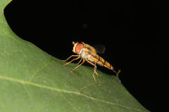 Hoverfly (Helophilus pendulus) Royalty Free Stock Photography