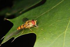 Hoverfly (Helophilus pendulus) Stock Photography