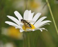 Hoverfly - Helophilus trivittatus Stock Image