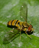 A hoverfly Stock Photography