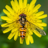 Hoverfly Hunger Royalty Free Stock Image