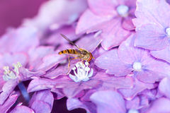 Hoverfly on a Hydrangea Flower Stock Image
