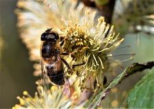 Hoverfly, i att pollinera frenesi, i Norfolk sjödistrikt i Norfolk arkivfoton