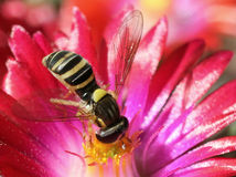 Hoverfly on Ice Plant Flower Stock Images