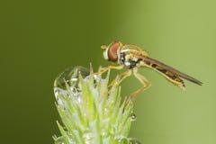 Hoverfly im Tau Stockfotografie