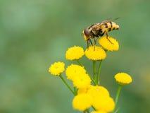 Hoverfly (inanis Volucella) Στοκ εικόνα με δικαίωμα ελεύθερης χρήσης