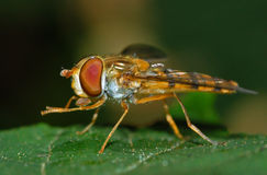 Hoverfly insect cleaning feet Stock Photography