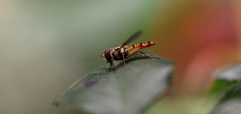 Hoverfly insect Royalty Free Stock Photos
