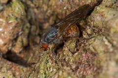 Hoverfly (insensilis de Brachyopa) Imágenes de archivo libres de regalías