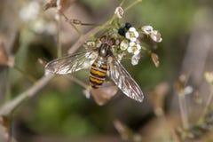 hoverfly insetto su un fiore fotografia stock libera da diritti