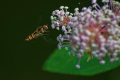 Hoverfly Karmienie Zdjęcia Royalty Free