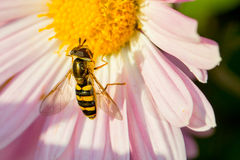 Hoverfly. On a Korean Chrysanthemum stock photography