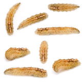Hoverfly Larvae Stock Photography