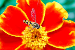 Hoverfly (lat. Syrphidae) on a flower of baratza Royalty Free Stock Images