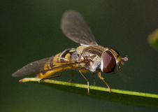 Hoverfly on leaf. A hoverfly sitting on a blade of grass or a leaf Royalty Free Stock Photo