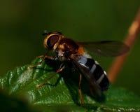 Hoverfly Leucozona glaucia Stock Photos
