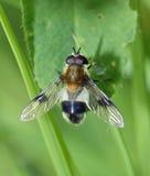 Hoverfly - Leucozona lucorum Royalty Free Stock Photography