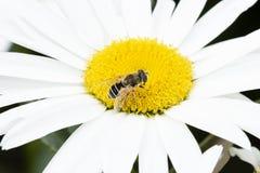 hoverfly macro obraz stock