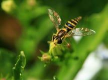 Hoverfly macro Stock Photos