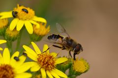 Hoverfly mangeant le pollen photos stock