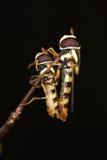 hoverfly matujący obrazy royalty free