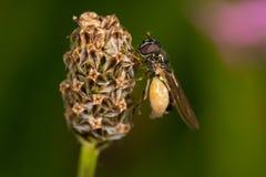 Hoverfly (Melanostoma SP etwas körniges) Stockfoto