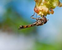 Hoverfly Meliscaeva cinctella Stock Photos