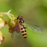 Hoverfly Meliscaeva cinctella Stock Photography