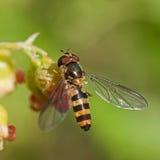 Hoverfly Meliscaeva cinctella Stock Photography