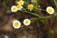 Hoverfly minúsculo que poliniza la flor de la manzanilla salvaje en jardín Fotografía de archivo