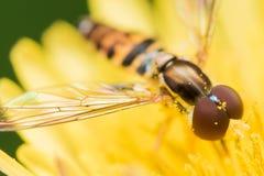 Hoverfly mit roten Augen auf heller gelber Blume stockbilder