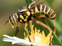 Hoverfly mit Schwarzem beschmutzte Augenauszugblütenstaub vom gelben flo Lizenzfreie Stockbilder