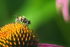 Hoverfly, mouche de fleur, mouche de syrphid Le luniger d'Eupeodes rassemble le nectar de la fleur rose Imitation des guêpes et d photos libres de droits