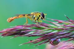 Hoverfly, mouche de jaune sur l'oreille Image stock
