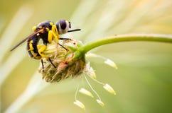 Hoverfly, mouche de jaune sur l'oreille Image libre de droits
