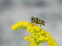 Hoverfly (Myathropa-florea) lizenzfreie stockbilder