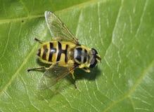 Free Hoverfly - Myathropa Florea Stock Photos - 96949293