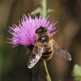 Hoverfly na fiołkowym kwiacie obraz royalty free