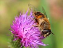 Hoverfly na fiołkowym kwiacie fotografia stock
