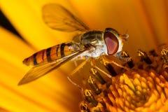 Hoverfly na flor Foto de Stock