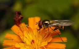 Hoverfly na kwiacie Obraz Stock