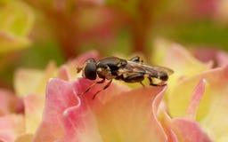 Hoverfly na kwiacie Obrazy Stock